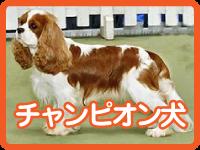 チャンピオン犬